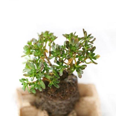 多肉植物 盆栽绿植 净化空气防辐射