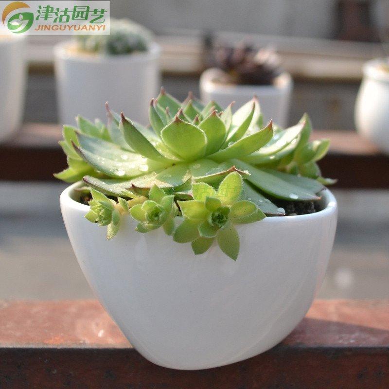多肉植物 景天科 观音莲 桌面盆栽 美观趣味 1棵 不含盆