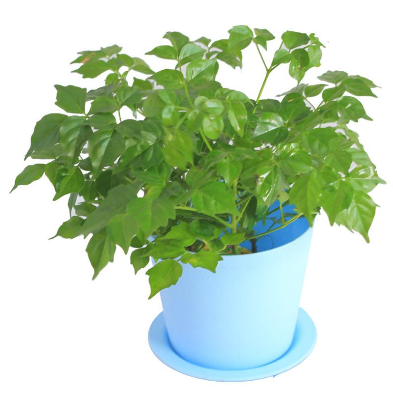 室内绿植 幸福树盆栽 四季常绿 办公室绿植菜豆树