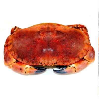 怡鲜来 爱尔兰进口熟冻面包蟹600-800g 母黄金蟹 黄道蟹 大螃蟹 新鲜海鲜水产