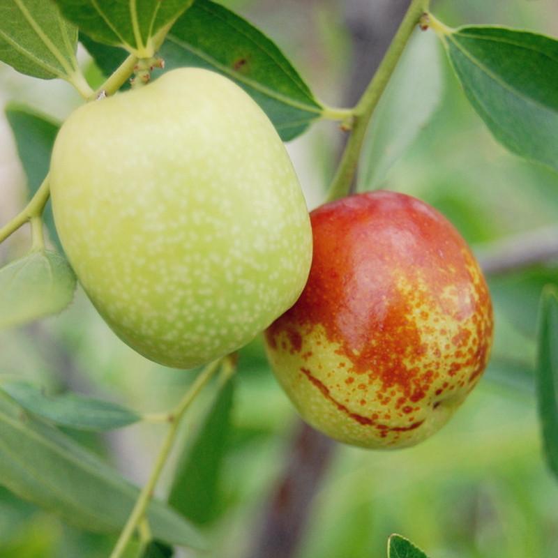 云南蒙自金丝蜜枣 新鲜水果 冰糖枣 鲜枣子 5斤装 应季水果