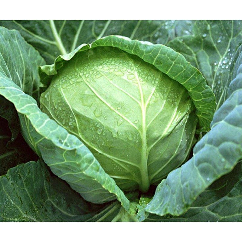 我要发芽 蔬菜种子 珍品京甘甘蓝种子 包心菜 绿包菜