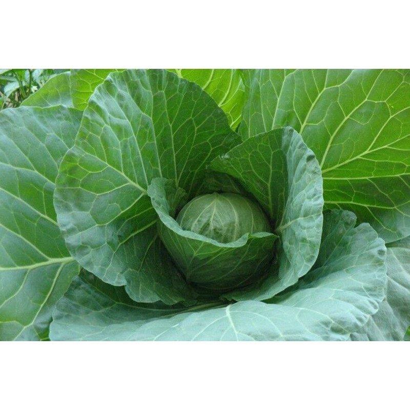 我要发芽 蔬菜种子 晚丰甘蓝种子 包心菜 卷心菜 包菜