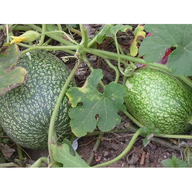 我要发芽 蔬菜种子 黑籽南瓜种子 黄瓜西瓜嫁接砧木 抗病抗逆性强 100