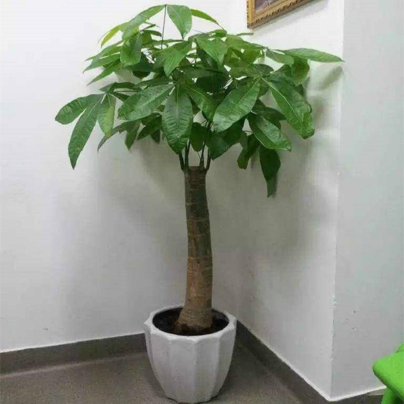 大室内开业乔迁盆景花卉客厅办公室绿植花卉大型盆栽 40cm辫子发财树