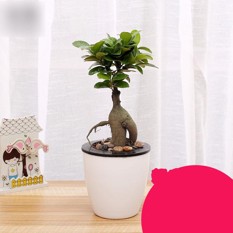 大榕树盆景人参榕客厅办公桌室内盆栽绿植生活园艺用品十倍花卉盆栽