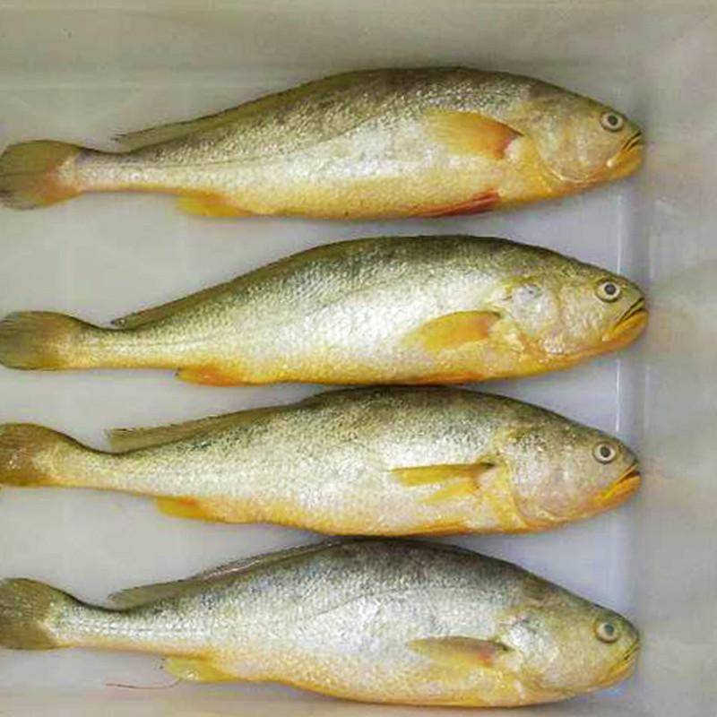 博多客 青岛特产新鲜野生大黄花鱼海捕大黄鱼冷冻黄花鱼冰鲜海鱼3斤