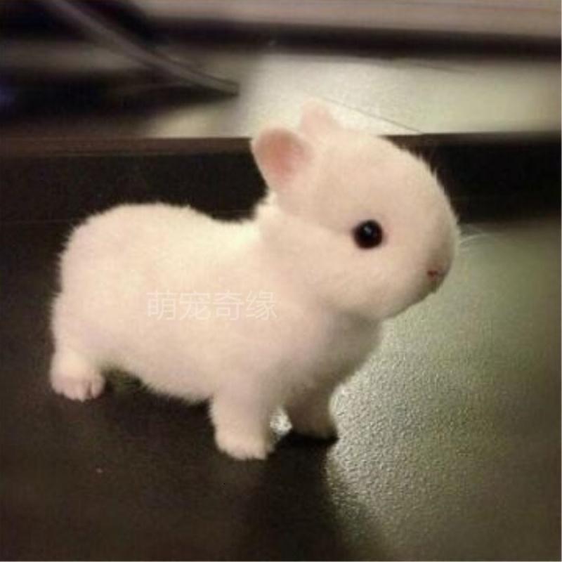 宠物兔海棠凤眼垂耳兔暹罗道奇猫猫兔长不大迷你茶杯兔