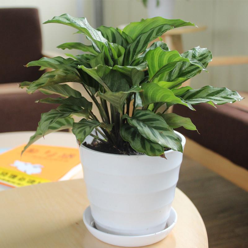 翠葉竹芋盆栽 室內綠植小盆景 綠色辦公室花卉植物 家居植物