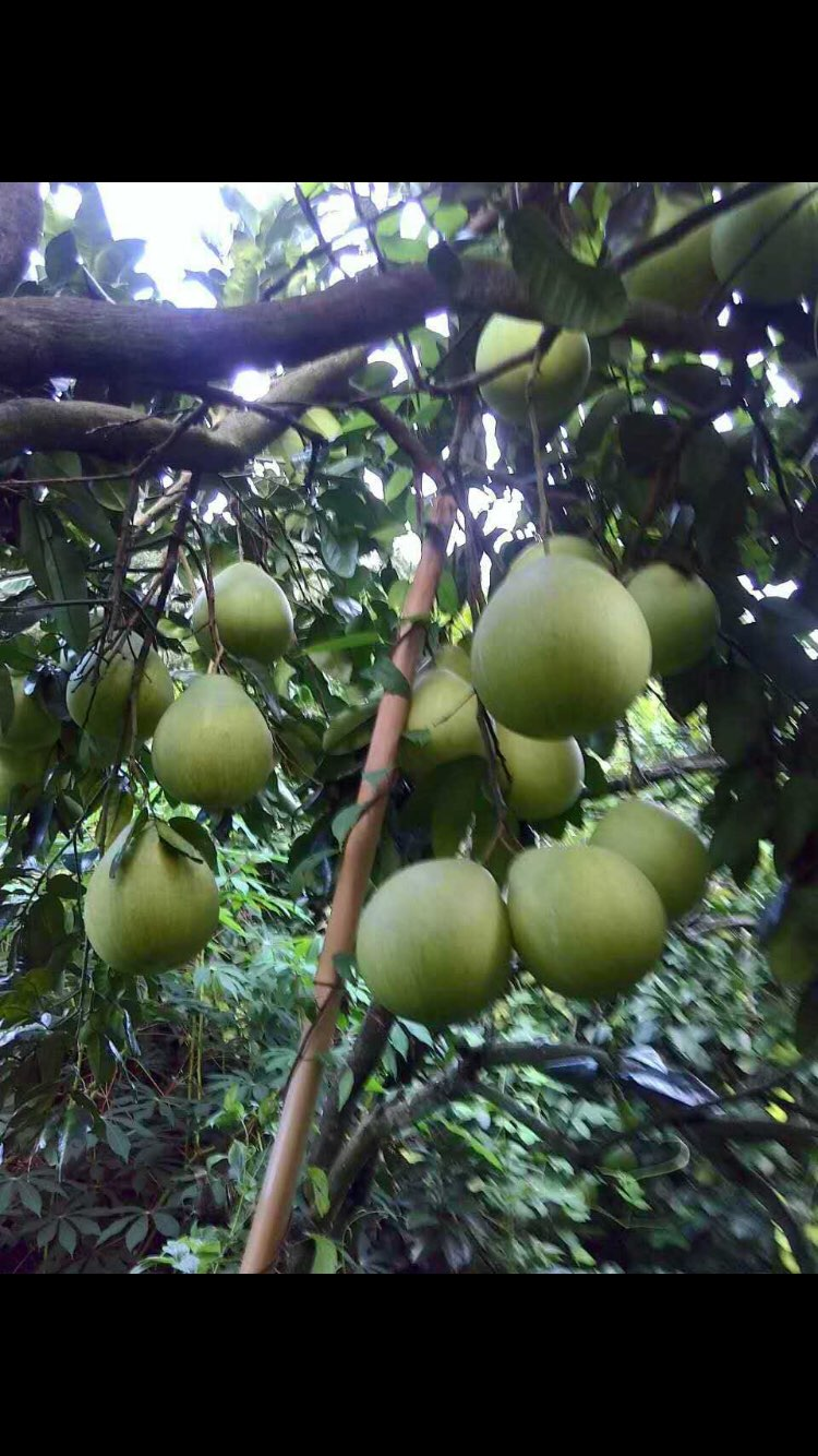 梅州兴宁的风景柚子